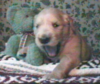Teddy pup